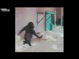 Dancing gorilla BBC News