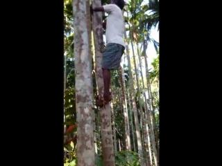 Индус лезет за кокосами