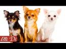 ЧИХУАХУА ТОП 10 ИНТЕРЕСНЫХ ФАКТОВ ПОРОДЫ СОБАК Elli Di Собаки