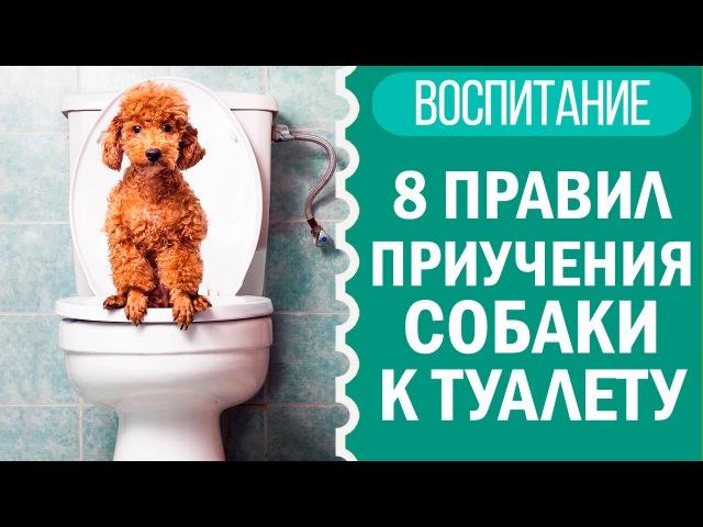 Как приучить щенка к пеленке собаку к туалету Чихуахуа Софи