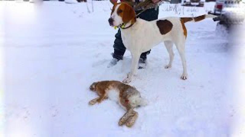 Охота на зайца с гончими видео ранней зимой. Челбасская станица, Каневской район, Краснодарский край
