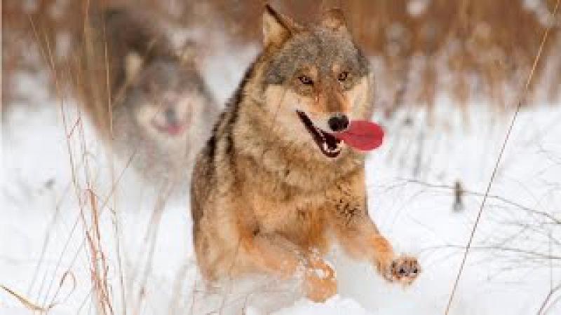 Охота на волка и куницу зимой. Кукуевка. Брянская область. Ее величество охота