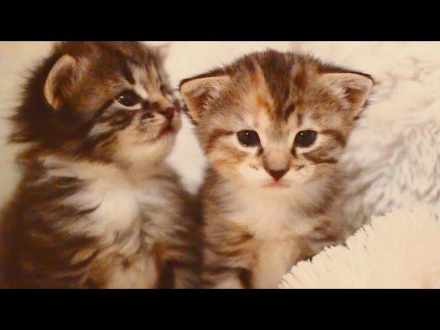 трехцветные кошечка и котик милота зашкаливает