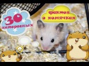 30 интересных фактов о хомячках Всё о хомяках Правильное содержание и питание хомяков 🍎