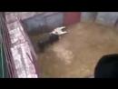 2yxa ru Byk ubivaet drugogo byka v Pamplone Bull kills another bull in Pamp