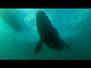 BBC: Морские гиганты - Жизнь гигантов (2011) HD 720