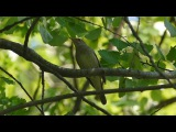 Как поет соловей Голоса птиц. Nightingale singing. AllVideo.