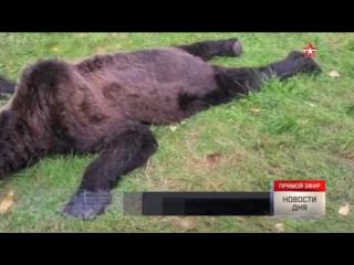 В Амурской области полицейский застрелил вышедшего к школе медведя