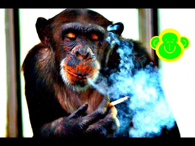 Chimpanzee smoking cigarettes like a Human