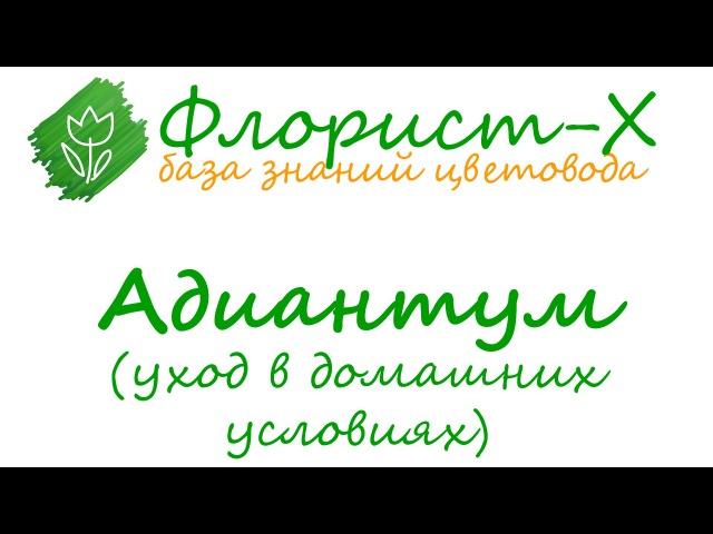 Папоротник адиантум – уход в домашних условиях: пересадка, размножение, приметы; венерин волос