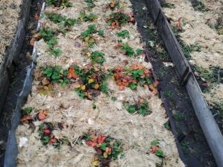 Вешенки: мульчирование почвы из отработанных блоков (mulching of the substrate blocks oyster)