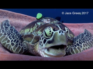 NIGHT-NIGHT! Watch this clip of a very tired sea turtle settling in for a nap! Stay tuned for the big yawn at the end. Hilarious