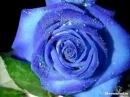 Синие Голландские Розы от BB.