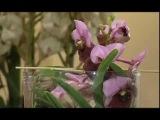 Моя домашняя оранжерея. Орхидеи. Ванда голубая.