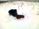 Собачьи бои#Чёрный терьер против боксёра#кровавое месиво