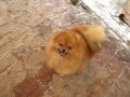 FOR SALE pomeranian female Rihanna Royal Style Iz Knyaginino age 7 5 m