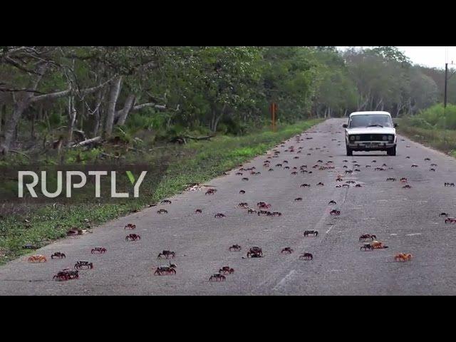 Куба: Крабы вторгаются в Залив Свиней, показывая США, как это делается.