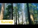 Bipper Forest classical