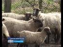 У калининградских овцеводов началась горячая страда
