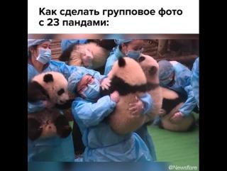 23 панды делают групповое фото