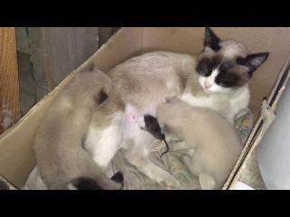 Кошка Сноу Шу приютила мышку (крысёнка) Cat adopted a mouse (a rat)