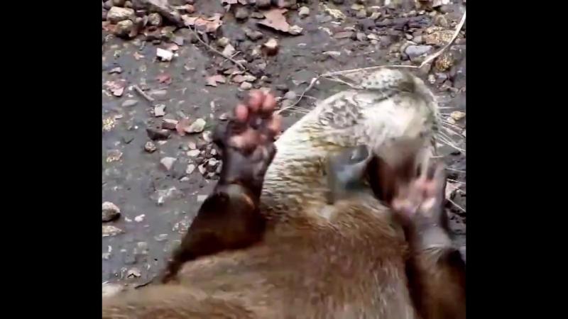 Quand une loutre joue avec des pierres, la vidéo fait le tour du monde. Elle témoigne