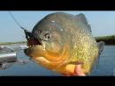 ВИДЕО В Иртыше рыбаки выловили черную пиранью !