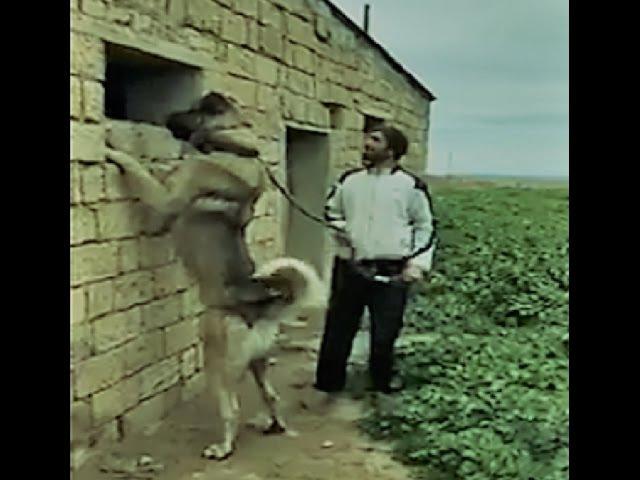 Kangal Dog The Power House