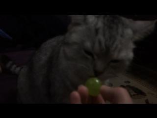 Кошка лижет конфету