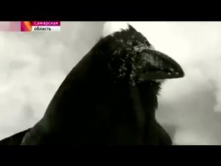 Сюжет о говорящем тольяттинском вороне вышел на «Первом канале»