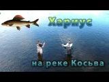 Хариус на реке Косьва