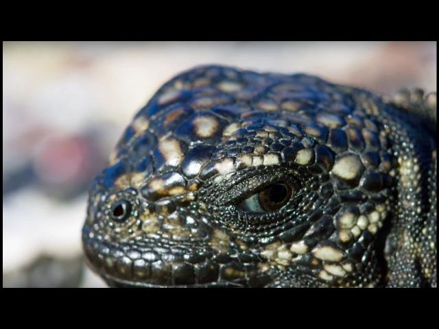 Iguana vs Snakes - Planet Earth II ( Планета земля 2)