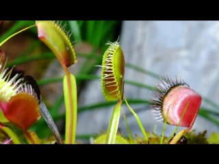 Жизнь плотоядных растений