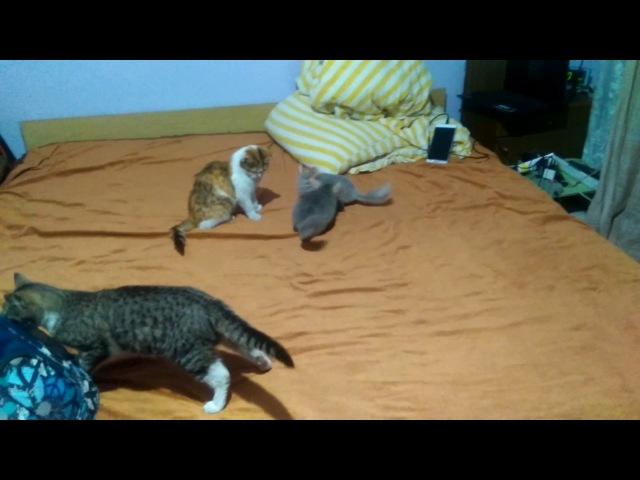 Шиншиллы и коты играются