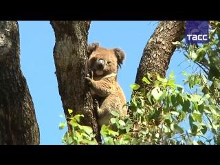 В Австралии ученые спасают коал: для животных, которые обычно вообще не пьют, построили поилки.