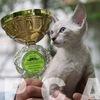 Выставки кошек on-line системы PCA