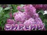 СИРЕНЬ -  СЕРГЕЙ КУПРИК  монтаж ролика С Тюнев
