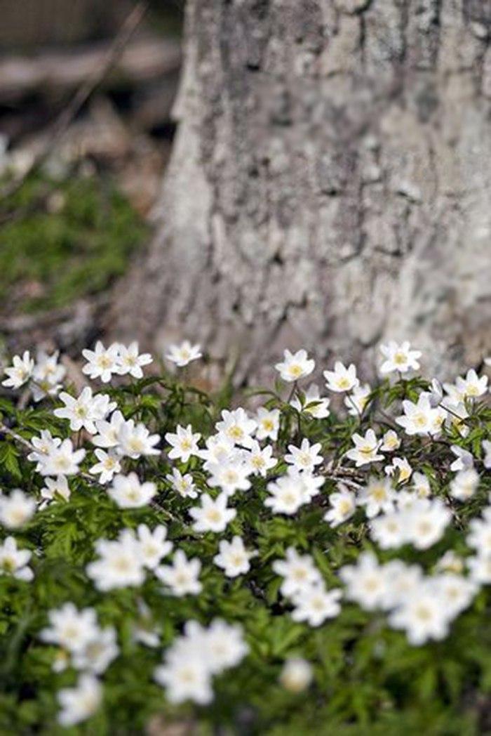 Подснежник - первый весенний цветок: 10 фактов о подснежнике