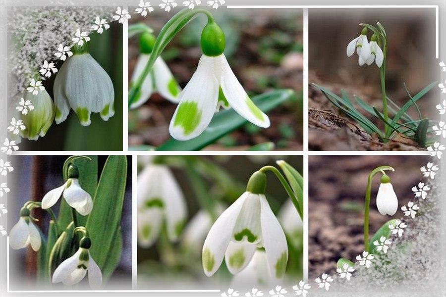 Подснежник - первый весенний цветок: 10 фактов о подснежнике.