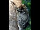 Малайский шерстокрыл. Самые необычные животные в мире. Интернет-портал для владельцев домашних животных zoostores