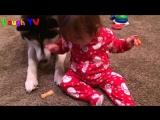 Очень милое видео. Хаски и малыши.
