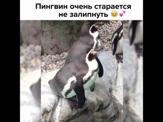 Пингвин пытается не уснуть