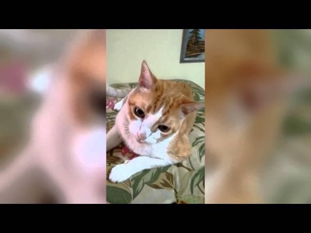 Кот и хозяин прекрасно поют дуэтом Cat SINGS 2015