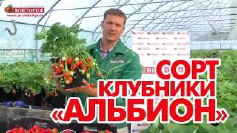 Альбион - сорт крупноплодной земляники.