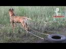 Как накачать мышцы собаке Тренировка стаффорда Дика! Рыбачёв и Пёс НЕИЗДАННОЕ