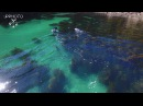 Aerial footage of Orca hunting stingray around Great Mercury Island, New Zealand.