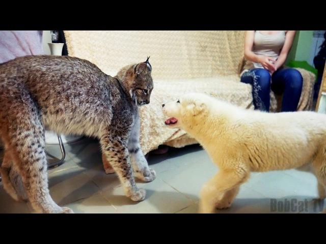 РЕАКЦИЯ РЫСИ НА ЩЕНКА ОВЧАРКИ. Большая кошка и Тайпан LYNX REACTION TO THE SHEPHERD PUPPY
