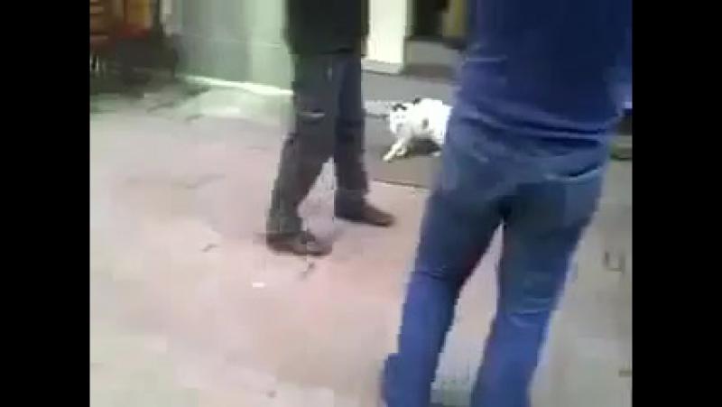 Злой кот нападает на ротвейлера