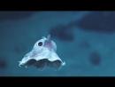 Осьминог Дамбо. Самые необычные животные в мире. Интернет-портал для владельцев домашних животных zoostores