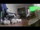 По просьбам трудящихся выкладываю видео от #коте #админа #Щенки, #Шпиц, #Алабай, #САО